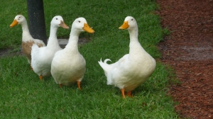 duck, duck, duck, duck-----