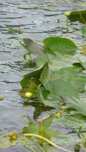 Lily pads with forthcoming blossoms