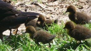 Muscovy chicks (and dudes probably)