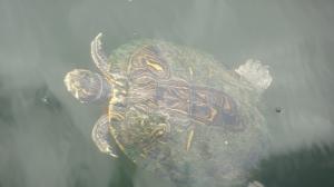 Blur-tle Turtle